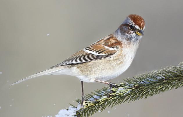 Great Backyard Bird Count - Friday