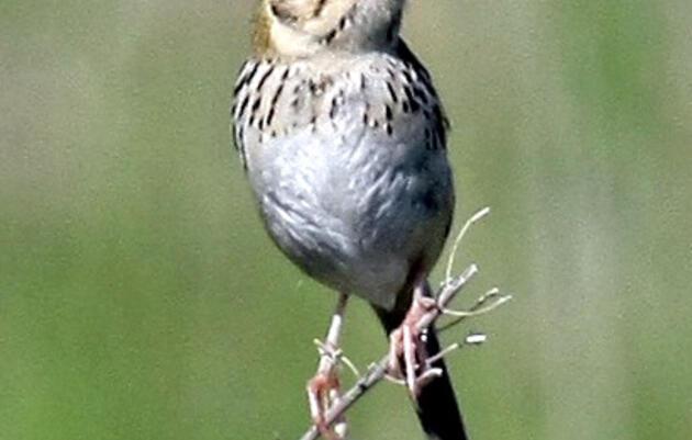 Prairie Corridor Bird Walks