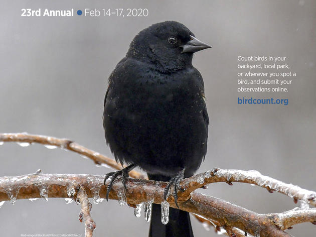 Great Backyard Bird Count - 2020