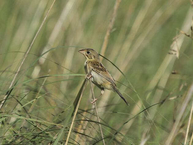 Prairies for Grassland Birds